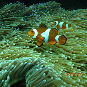 Finding Nemo by Diver Lukman - Animals Sea Creatures