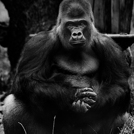 What are you looking at by Anz Defensor - Animals Other Mammals ( gorilla, uk, black, animal, zoo, animals, wildlife )