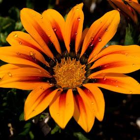 Orange Gazania by Sandra Veech - Nature Up Close Flowers - 2011-2013