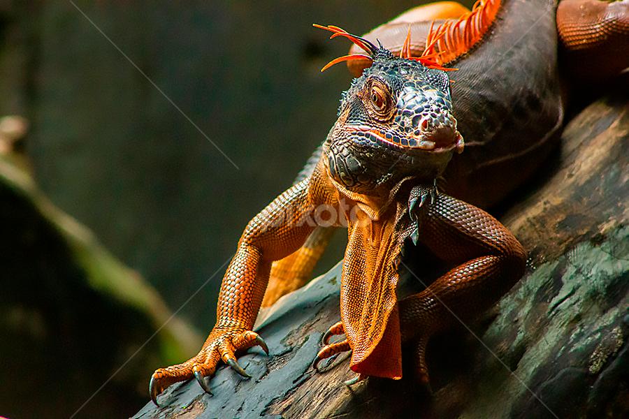Like You Always Do by Yohanes Arief Dewanto - Animals Reptiles ( iguana, red_iguana, reptile, animals, wild )