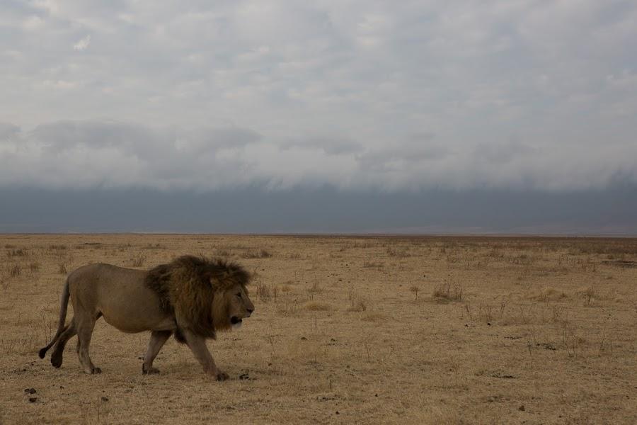 Lion by VAM Photography - Animals Lions, Tigers & Big Cats ( lion, nature, tanzania, landscape, mammal,  )