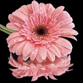 Pink by Ana Paula Filipe - Flowers Single Flower ( single, pink, color, close, flower )