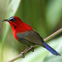 Asian Birds Sounds Free icon