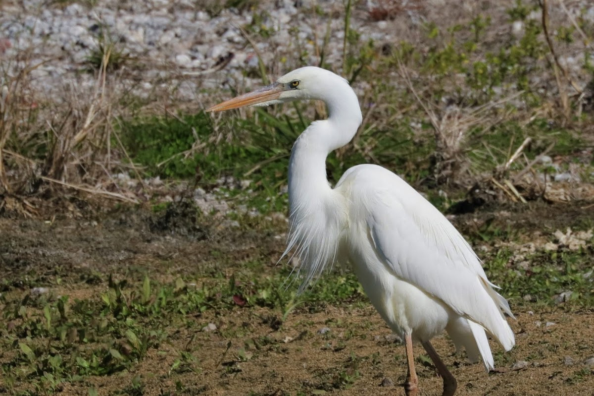 Great Blue Heron (White Form)