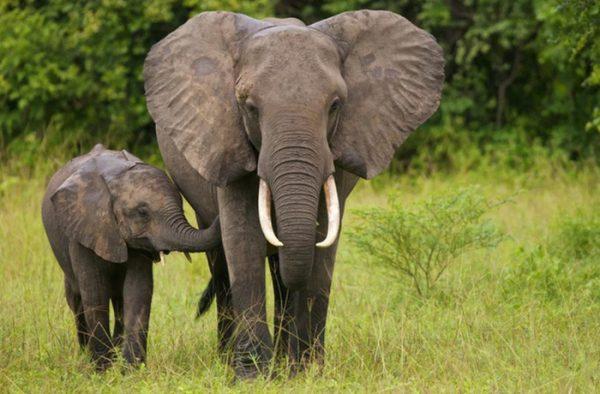 Mơ thấy con voi 1