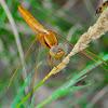 Scarlet Dragonfly; Libélula Escarlata