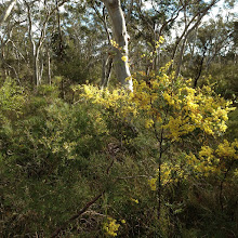 Photo: Day 11: Wattle - National flower of Australia