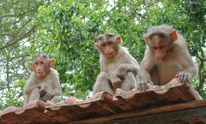 Practical Guide to avoiding monkey bites while traveling asia | Krys Kolumbus Travel