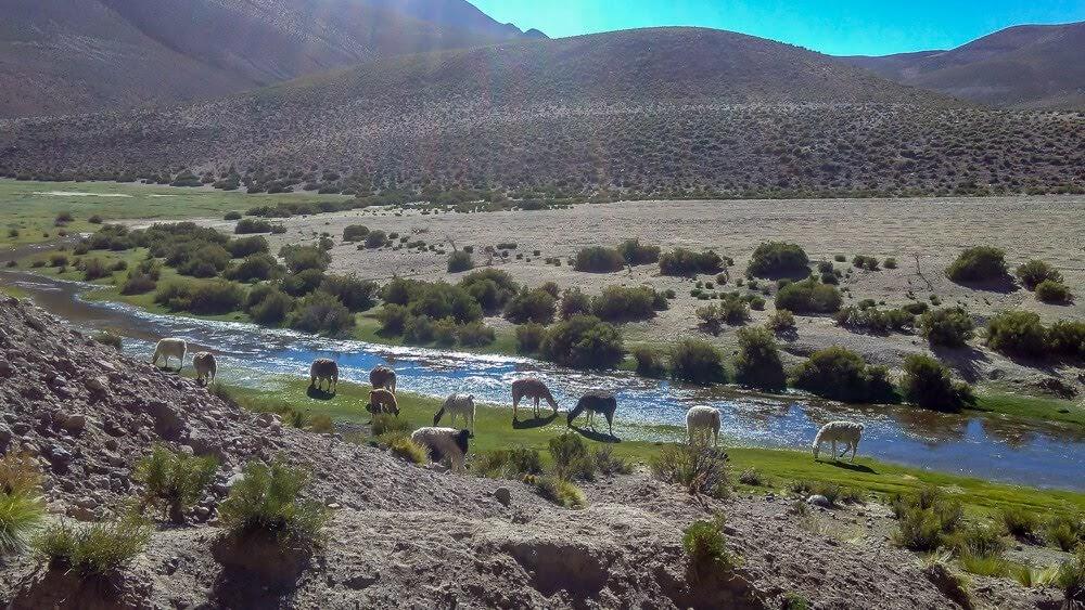 salar de uyuni salt flats tour alpacas.jpg