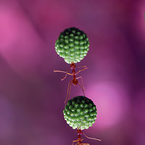 Power Ant by Awaludin Aw - Animals Other