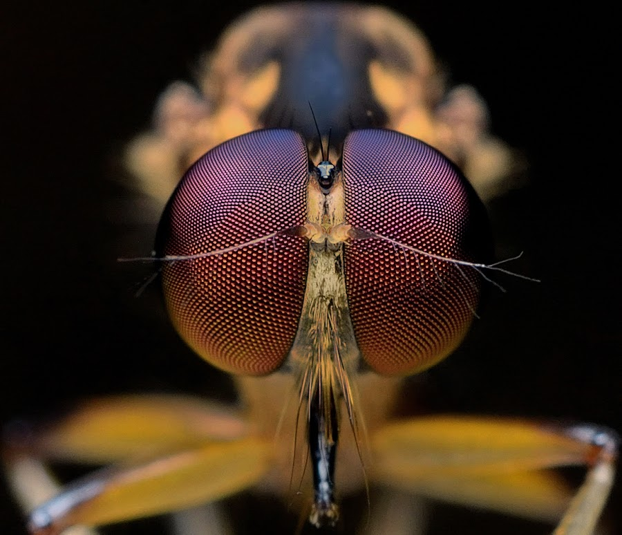 Robberfly by Herman  Noh ( Kajong ) - Animals Insects & Spiders ( pwcinsectsandspiders )