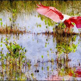 Roseate Landing by Alice Gipson - Animals Birds ( bird, alicegipsonphotographs, shorebird, spoonbill, roseate spoonbill )