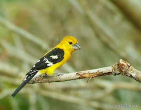 Photo: Adult male Yellow Grosbeak; Rancho Primavera, near Tuito, Jalisco