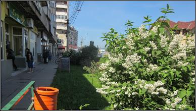 Photo: Deutia (Deutzia scabra) - de pe Calea Victoriei, spatiu verde Mr.3 - zona cofetarie - 2017.06.03