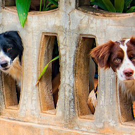 Twos Company & Three is a Crowd by James Morris - Animals - Dogs Portraits ( two dogs, thailand, twos company & three is a crowd, dogs, spaniels,  )
