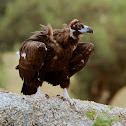 Cinereous Vulture / European Black Vulture