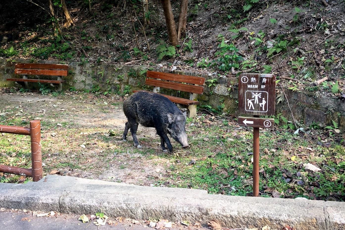 香港仔水塘野豬