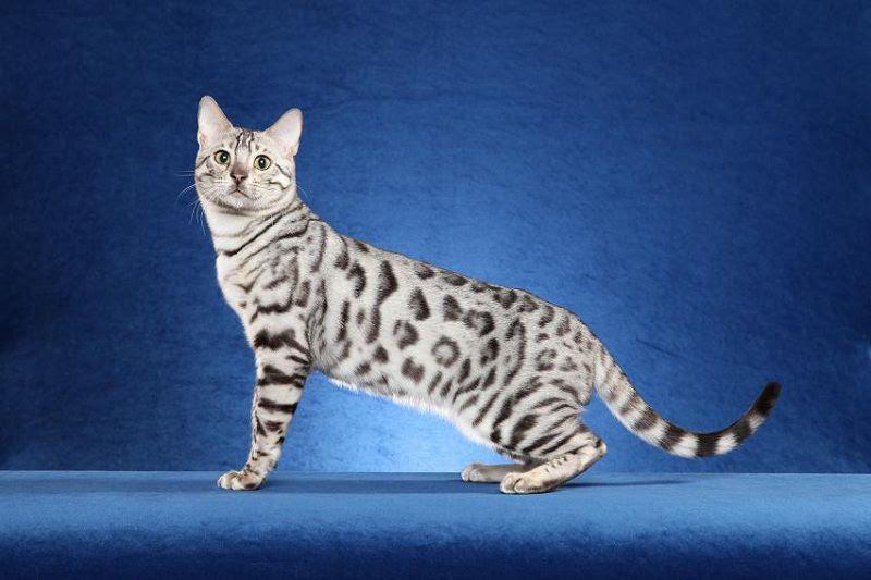 Giá mèo Bengal thuần chủng. Mua bán mèo Bengal ở VN