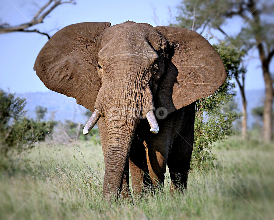 Elephant  Bull by Pieter J de Villiers - Animals Other