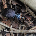 Snail-killer Carabid with mites