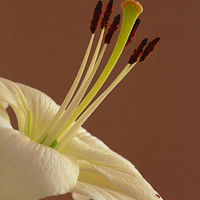 Lilium by Aleksandar Zhivkov - Flowers Single Flower ( white, lilium,  )
