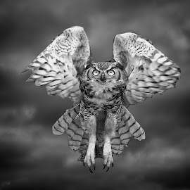 Great Horned owl in Black & White by Sandy Scott - Black & White Animals ( clouds, animals, avian, black & white, brids, great horned owl, predators, eyes, high key, contrast, wildlfie, birds of prey, nature, wings, owl, raptors,  )