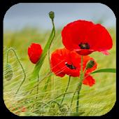 Poppy Flower Live Wallpaper