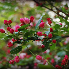 Pink blosssoms by Brenda Shoemake - Flowers Tree Blossoms (  )