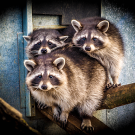 Raccoons by Garry Chisholm - Animals Other Mammals ( raccoon, mammal, nature, rodent, garry chisholm )