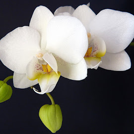 My white orchids by Helena Moravusova - Flowers Flower Arangements ( orchids, white, flower )