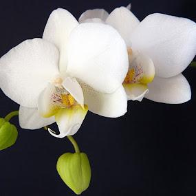 My white orchids by Helena Moravusova - Flowers Flower Arangements ( orchids, white, flower )