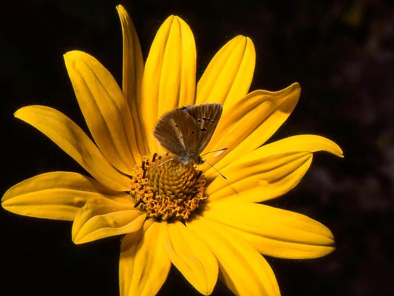 Attrazione gialla di sarre 49