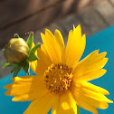 Coreopsis sp.