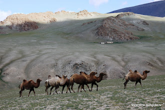 Photo: Верблюды очень красивые и независимые животные