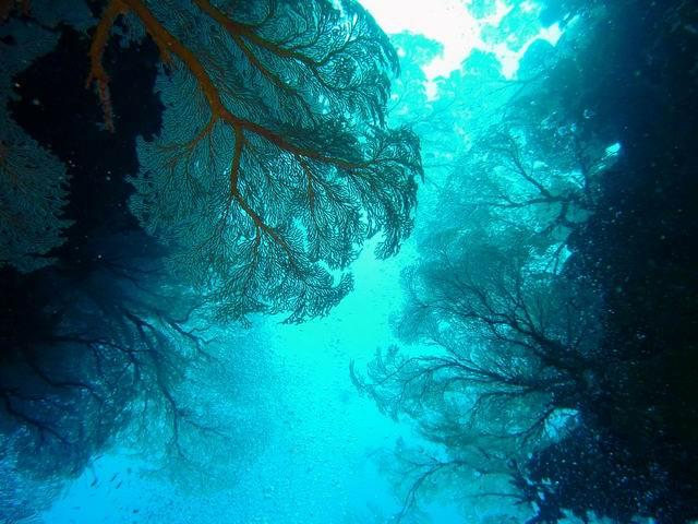 Photo: Gorgones en Nouvelle-Calédonie