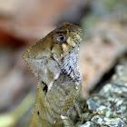 Smooth-helmeted Iguana