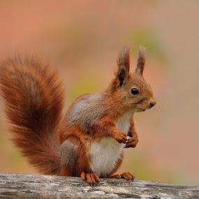 Squirrel by Ronnie Bergström - Animals Other ( squirrel )