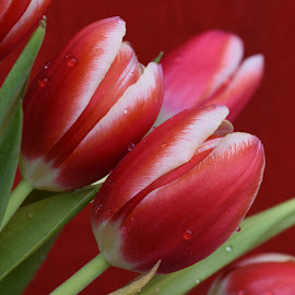 Spring Tulips by Millieanne T - Flowers Flower Gardens