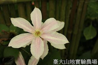 Photo: 拍攝地點: 梅峰-溫帶花卉區 拍攝植物: 鐵線蓮 拍攝日期:2012_05_26_FY