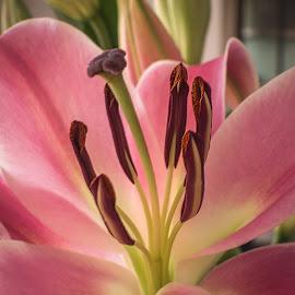 Pink Lilium by Keith Walmsley - Flowers Single Flower ( pink, nature, stamens, plant, lilium, pistils, buds, petals, flower )