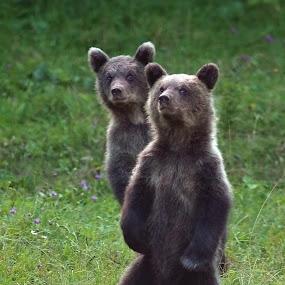 Twin brothers by Zeljko Padavic - Animals Other Mammals ( adventure, bears, wildlife, zeljko padavic )