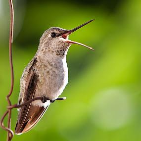 Anna's Humming bird by Alex Sam - Animals Birds ( bird, canon, anna's humming bird, 5d, animal )