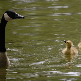 Geese by Angel Harvey - Novices Only Wildlife ( goslins, goose,  )
