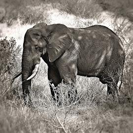 Elephant by Pieter J de Villiers - Black & White Animals