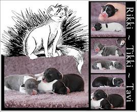 Photo: Rikki-Tikki-Tavi Litter at About Time Italian Greyhounds