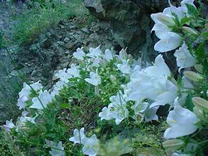 Photo: Campanula choruhensis, bu tür korunmalıdır!