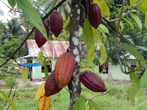 Photo: Cocoa trees. This is the beginning of all chocolate and can only be found in tropical regions.
