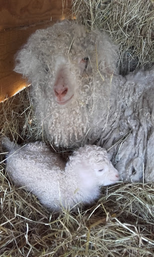 Une chèvre angora et son petit