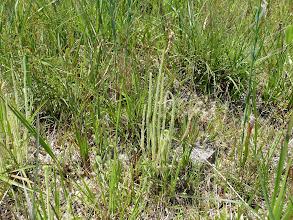 Photo: Drosera filiformis ssp. tracyi at Splinter Hill Bog Preserve in Alabama.