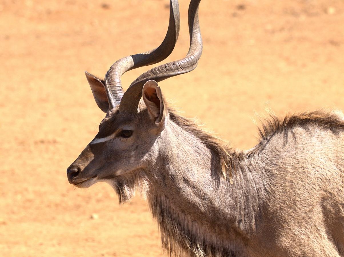 kudu (Copy).jpg